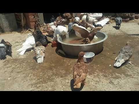 تربية الحمام والطرق السليمة فى تغذية الحمام غذاء الحمام 2018 Breeds Animals Birds