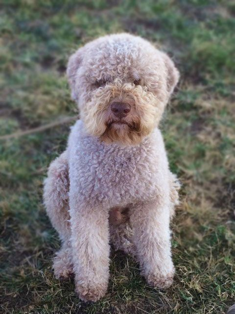 Lagotto Grooming Learn How To Haircut Lagotto Romagnolo Grooming