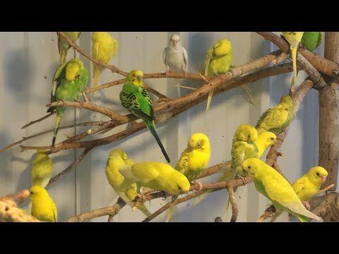 طيور البادجي Youtube Parakeet Sounds Budgies Parakeet