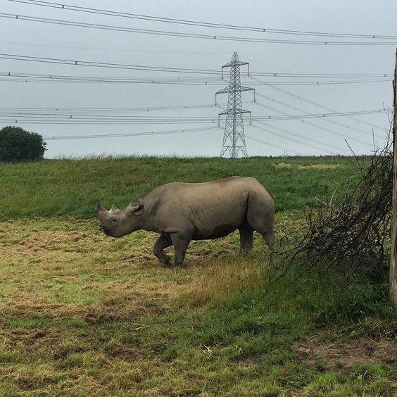 Amazing Rhino #follyfarm #rhino