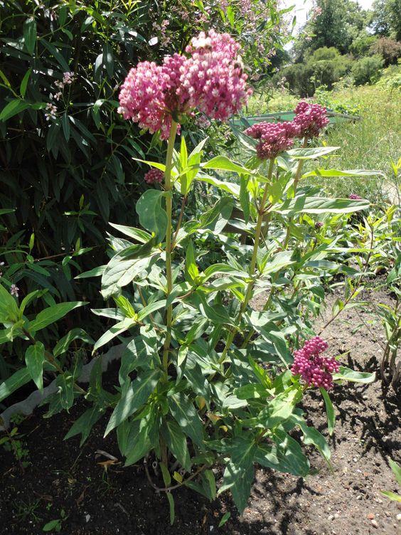 Sumpf-Seidenpflanze (Asclepias incarnata )