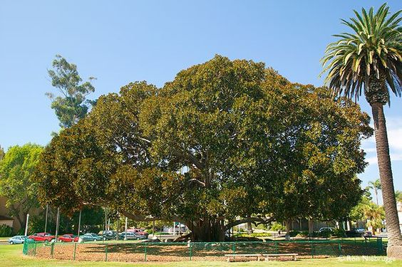 I climbed in this fig tree when I was little (in San Diego) but it is not allowed anymore - it is so huge...