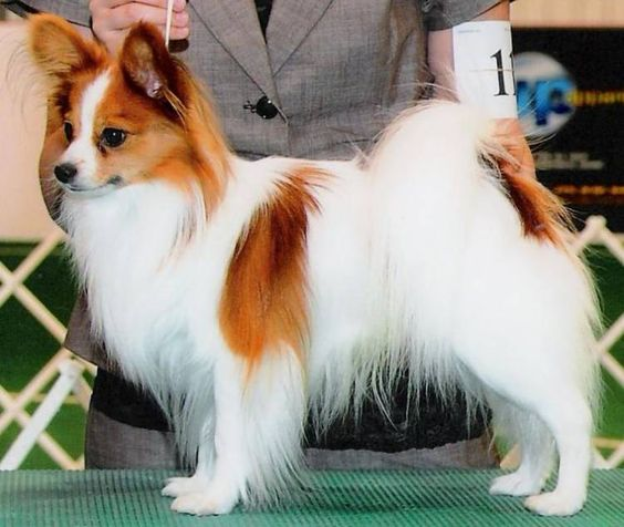 Find Papillon Breed Info Breeders Clubs Rescues Care