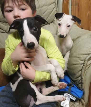 Kc Registered Whippet Puppies For Sale In Launceston Cornwall Preloved In 2020 Whippet Puppies Puppies Whippet