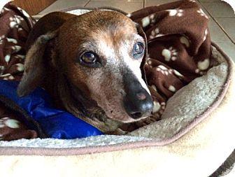 Weston, FL - Dachshund. Meet Candy, a dog for adoption. http://www.adoptapet.com/pet/12465805-weston-florida-dachshund