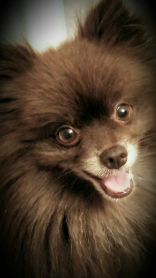 """MY LITTLE """"CHEWIE"""" (Short for Chewbacca)!  #ourchocolatepom"""