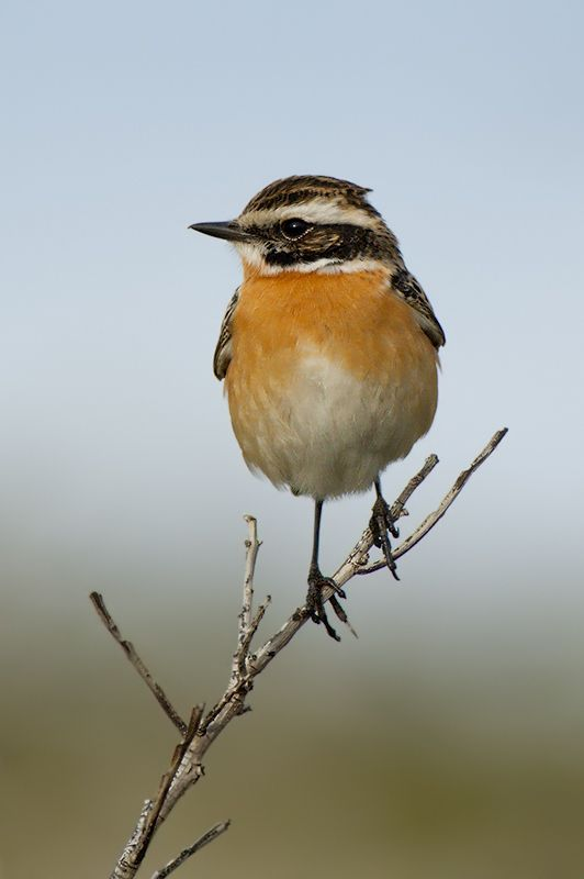 Whinchat (Saxicola rubetra) by Felix Rehsteiner, via 500px