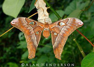 female Hercules Moth -Coscinocera hercules