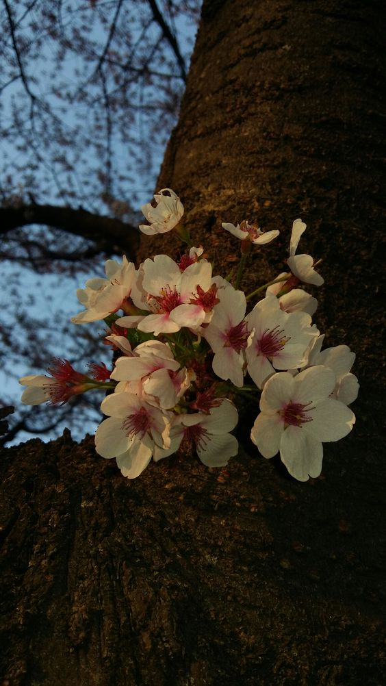Cherry blossoms in the evening