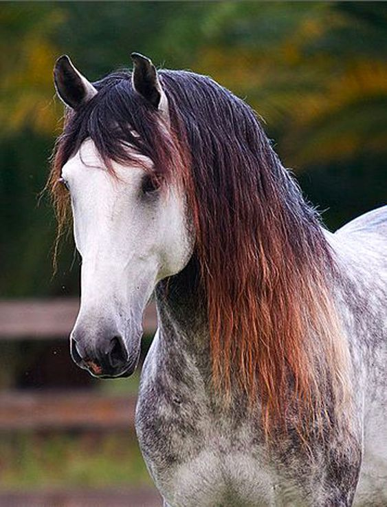My bet is dapple grey with black points. Mane bleached by the sun to orange tips.