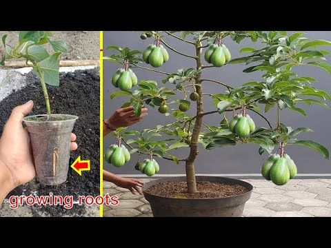 How To Cuttings Avocado To Grow 100 Roots Only 4 8 Weeks Youtube In 2021 Avocado Plant Mini Garden Plant Hacks