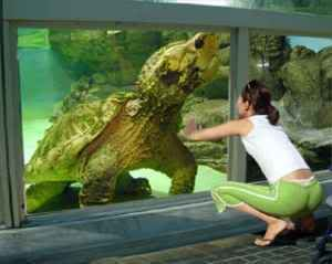 Snapping turtle, Worlds largest and Turtles on Pinterest  Snapping turtle...