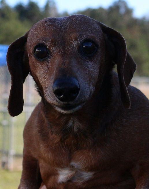 Dachshund Dog For Adoption In Canton Ct Adn 812946 On Puppyfinder Com Gender Female Age Senior Dog Adoption Dachshund Dog Dachshund Mix
