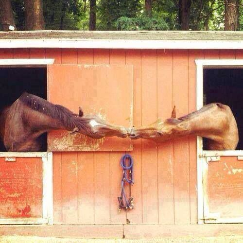 Horses kiss from their stalls