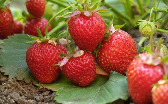 Fragole in vaso: come coltivarle nel vostro orto sul balcone!   Giardinieri in affitto