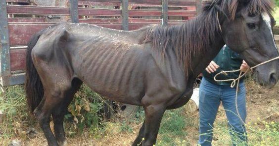Pena máxima para la responsable de un establo que llevó a dos caballos a un tremendo estado de desnutrición