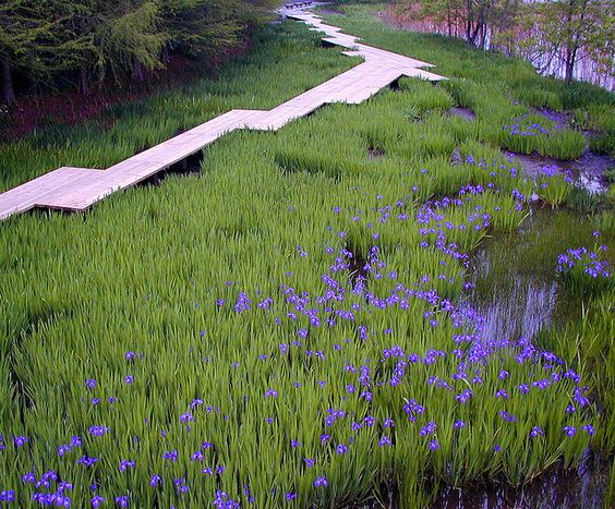 Iris laevigata, path,..
