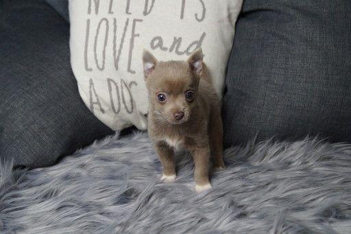 Chihuahua Puppy For Sale In Warsaw In Adn 70412 On Puppyfinder