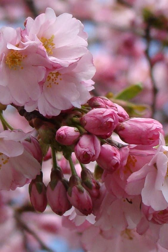 Vancouver Cherry Blossom Festival 2021 Dates Cherry Blossom Festival Blossom Cherry Blossom