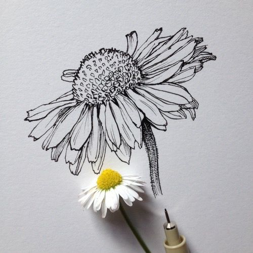 art, beautiful, black and white, daisy, drawing, flower, pen, real, sketch, tumblr