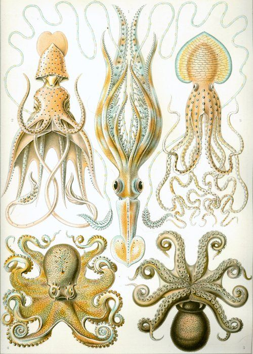 Gamochonia by Ernst Haeckel via Kunstformen der Natur (Art Forms in Nature, 1883-1919).        From top left, clockwise: Histioteuthis bonnellii, Chiroteuthis veranyi, Pinnoctopus cordiformis, Octopus vulgaris(ventral), Octopus vulgaris (dorsal)