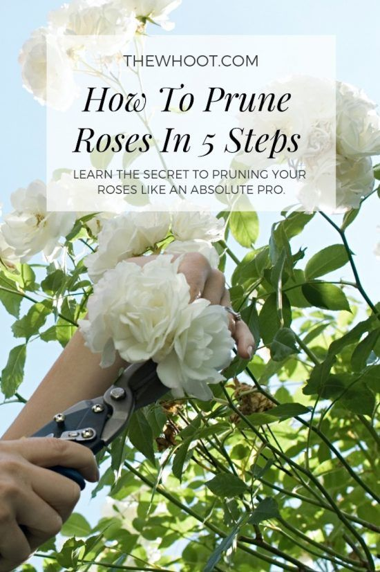 How To Trim Knockout Roses Pruning Roses Trim Rose Bushes Rose Care