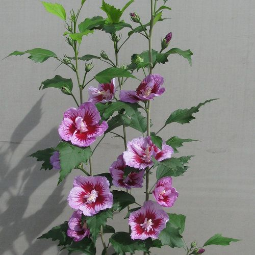 Purple Pillar Rose Of Sharon Hibiscus Syriacus Rose Of