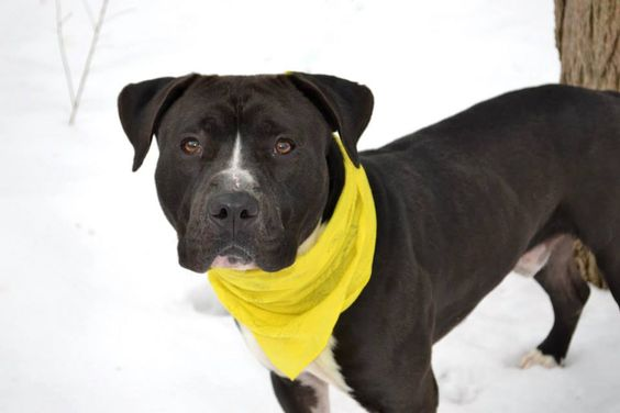 TO BE DESTROYED - 03/04/15 Staten Island Center-P  My name is DAYDAY. My Animal ID # is A1028252. I am a male black and white staffordshire mix. The shelter thinks I am about 1 YEAR 1 MONTH old. For more information on adopting from the NYC AC&C, or to find a rescue to assist, please read the following: http://urgentpetsondeathrow.org/must-read/