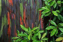 Eucalyptus deglupta - Wikipedia, the free encyclopedia