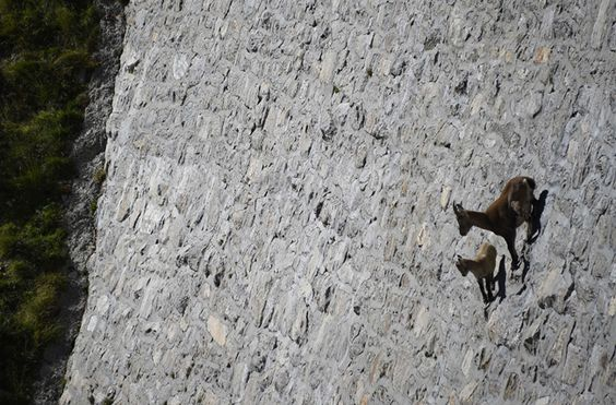 Unbelievable: Goats climb the almost vertical 161 feet high walls of Cingino Dam in Italy - NetDost.com
