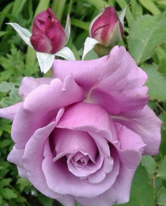 99 Tumblr Beautiful Rose Flowers Rose Flower Pictures Amazing Flowers