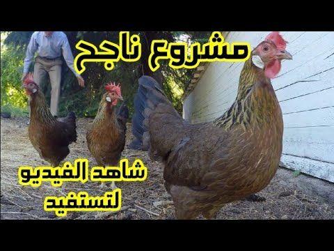 فيديو هام لمن يريد البدأ في مشروع تربية الدجاج السر وراء نجاح كل مربي Youtube