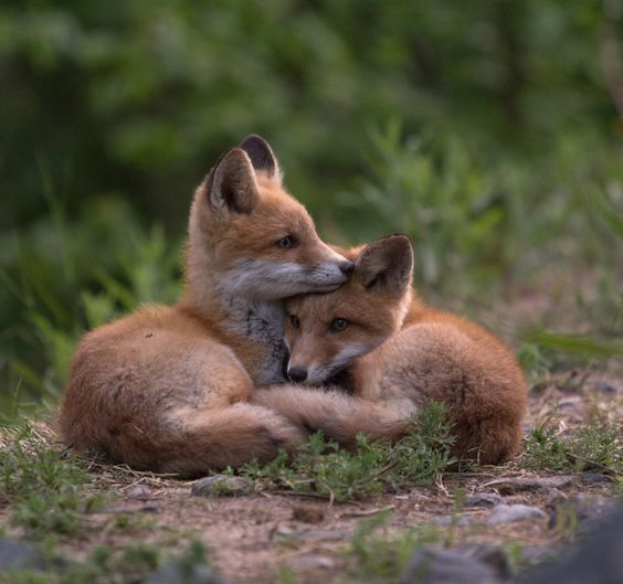 Red Fox Cubs by topilainio22
