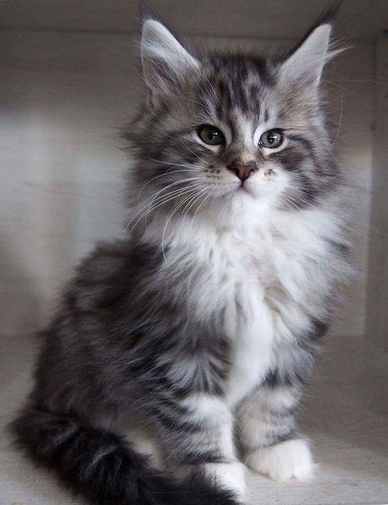 Himalayan Cats For Sale Himalayan Cat Himalayan Cat For Sale Himalayan Kitten