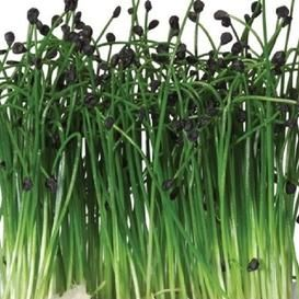 How To Grow Chives Including How To Plant Your Chive Seedlings How To Plant Chives In Pots How To Growing Chives Organic Vegetable Garden Growing Vegetables
