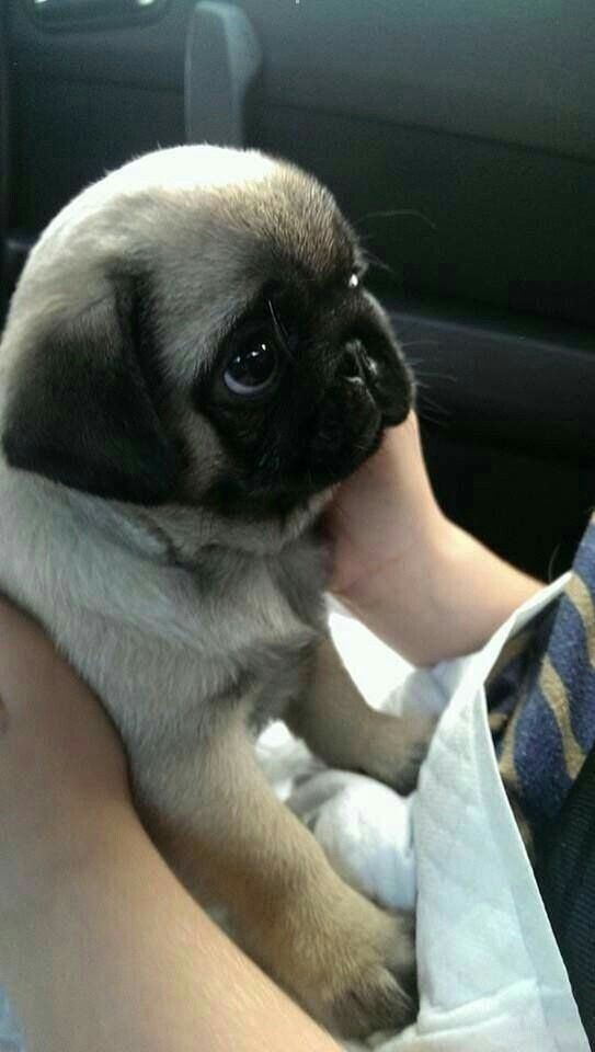 Pin By Catherine On Perros Baby Pugs Cute Baby Animals Cute Animals