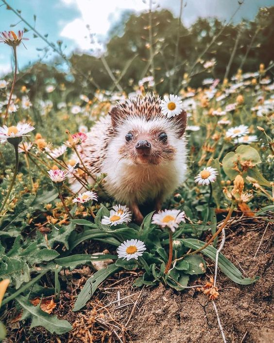 40 Pics Of Adorable Herbee The Hedgehog That 1.5 Million Instagram Followers Adore