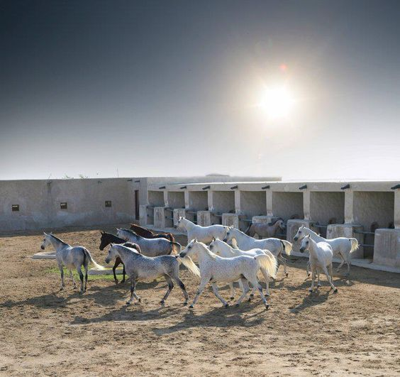 Mares in the old stables of Al Shaqab.