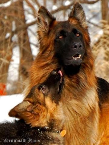 This Is The Most Gorgeous Dog Long Haired German Shepherd