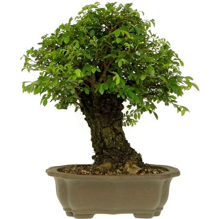 Bonsai Zelkova 26 anos - Ideal Bonsai