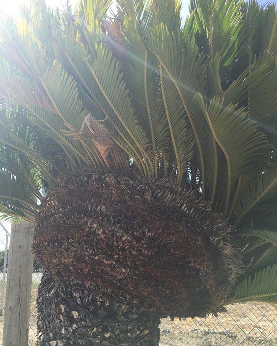 Crested sago #SagoRey #sago #sagopalm #palm #sagoplantation #fresno #sanger #fowler #clovis #cagrown #landscape #fresnonursery  #crestedsago #mojawksago by sagorey