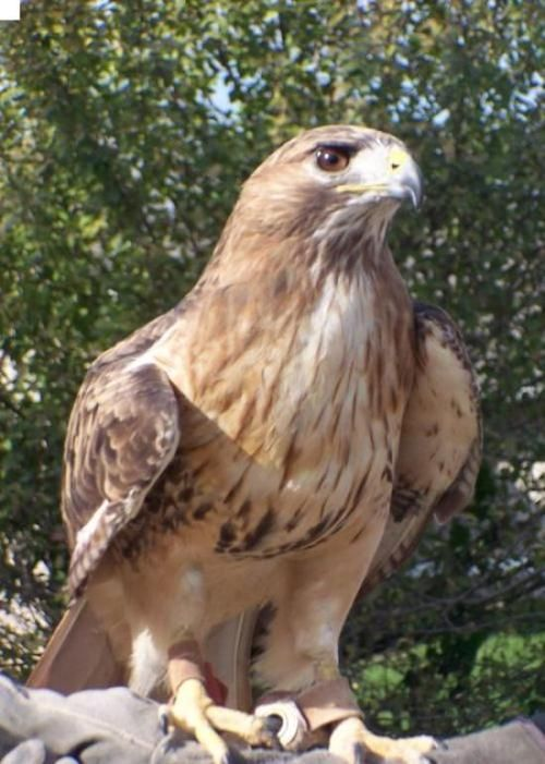 Gallery For gt Golden Hawk Bird