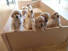 Visit a dog breeder to play with the pups