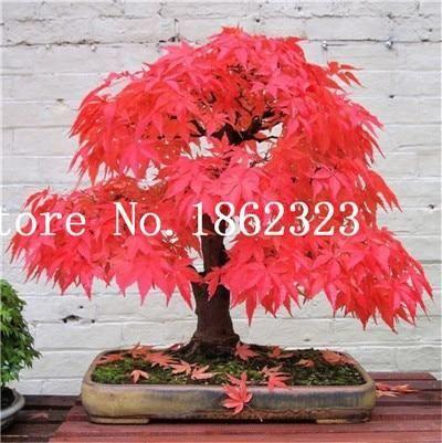 Japanese Maple Acer palmatum atropurpureum 30 seeds