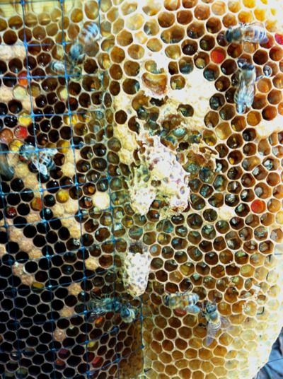 A beautiful closeup of feral honey bee comb in a trap out (removal ) box. You can see yellow and orange pollen, honey beginning to fill cells, worker, drone and queen cells. The large elongated cells hanging down in the center of the photo are queen cells. - P. Treadwell, 5-27-2012