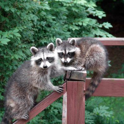 Decks Skunks And Animals On Pinterest