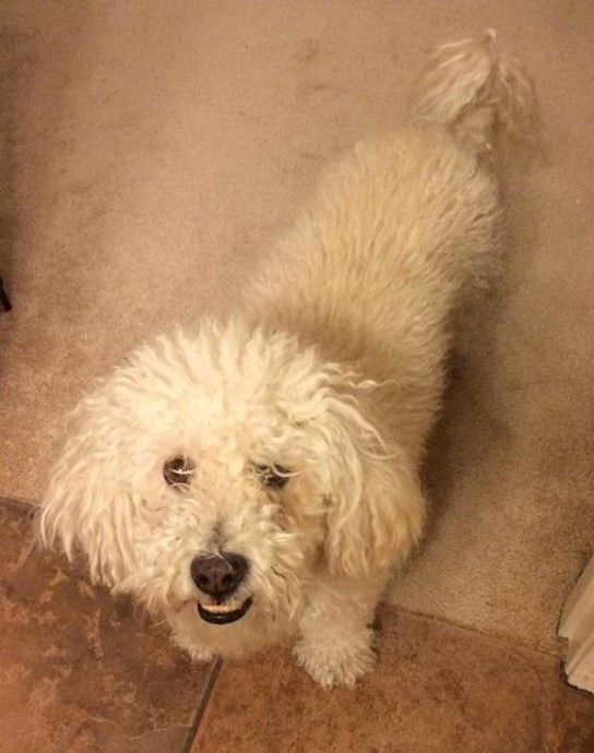 Homeatlast Taff The Bichon Poodle Found In Avondale Maricopa Has Been Reunited With Family Thanks To The Kind Person Who F Losing A Dog Dogs Cute Animals