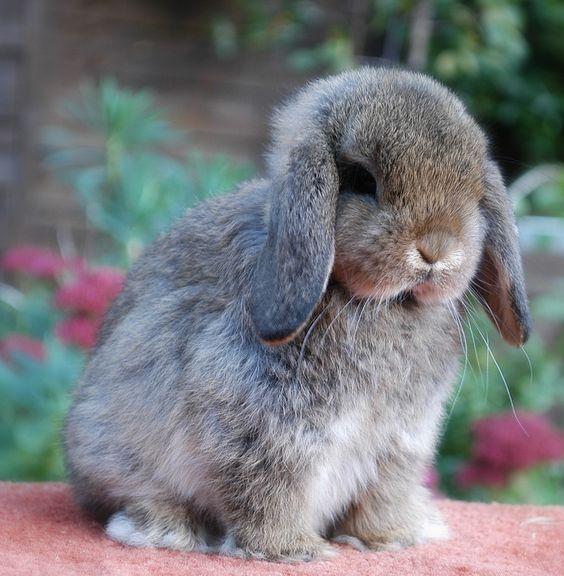 Dwarf lop rabbits - photo#32