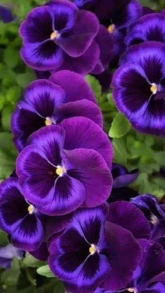 Perennials Pansy Wallpaper Pansy Ore Wo Suki Wallpaper Pansies Flowers Pans In 2020 Purple Flowers Wallpaper Pansies Flowers Purple Flowers Garden