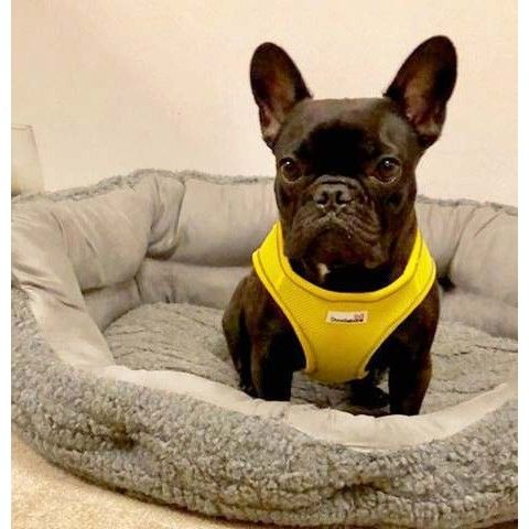 Doodlebone Yellow Airmesh Snappy Dog Harness Dog Harness Dogs